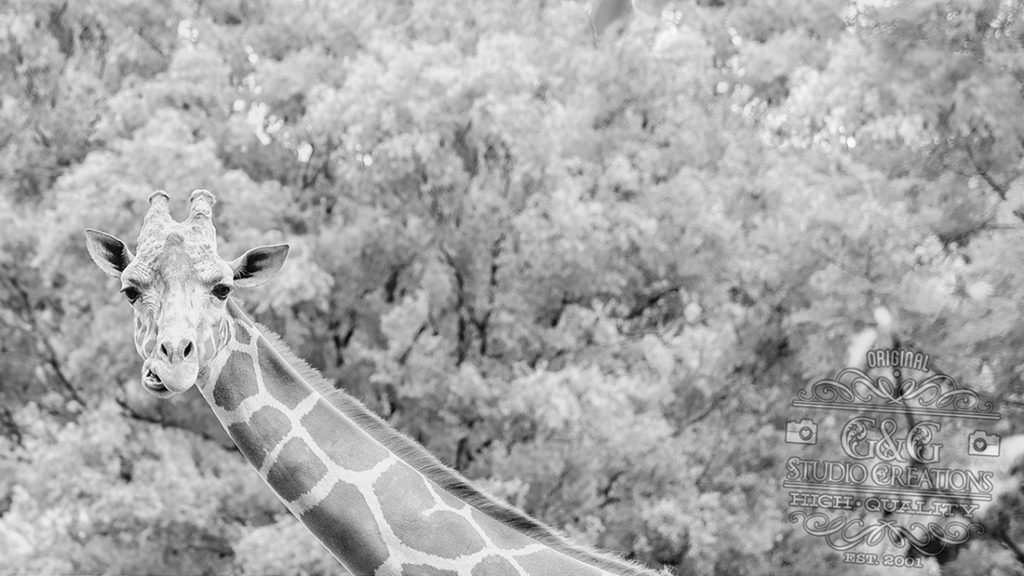 giraffe at the zoo in Erie, PA